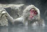 Snow Monkeys Fotografisk trykk