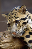 Clouded Leopard Close Up of Face Photographic Print