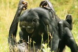 Pygmy, Bonobo Chimpanzee Mating Photographic Print