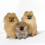 Pomeranian, Three Sitting, One Puppy, Studio Shot Photographic Print