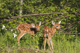White-Tailed Deer Two Fawns Photographic Print