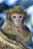 Barbary Macaque, Ape or Rock Ape Young Fotografisk trykk