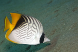 Threadfin Butterflyfish Photographic Print