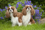 Cavalier King Charles' Sitting Together in Garden Photographic Print
