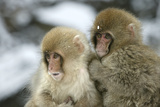 Japanese Macaque Monkey Two Young Fotografisk trykk