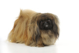 Pekingese Dog Photographic Print