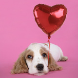 Cocker Spaniel Puppy with Heart Shaped Balloon Photographic Print