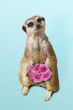 Suricate Holding a Bunch of Roses Photographic Print