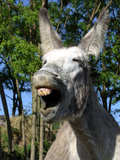 Donkey Braying Photographic Print