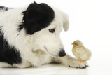Chick Sitting on Border Collies Paw Photographic Print