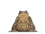 Common Toad Studio Photographic Print