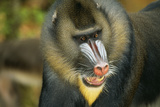 Mandrill Baboon Close-Up of Face Photographic Print