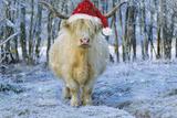 Scottish Highland Cow in Snowy Scene Papier Photo