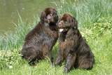 Newfoundland Dogs Photographic Print