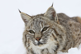 Bobcat in Snow Photographic Print