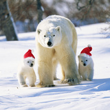 Polar Bear Parent with Cubs Wearing Christmas Hats Photographic Print
