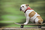 Bulldog on Skateboard Photographic Print