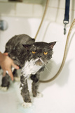 Persian Cat Standing in Bath, Being Washed Photographic Print