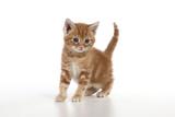 Ginger Tabby Kitten Photographic Print