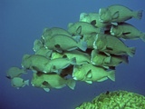 Double-Headed, Bumphead, Green Humphead, Giant Photographic Print
