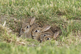 Wild Rabbits Young Papier Photo
