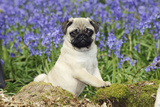 Pug Puppy in Bluebells Photographic Print
