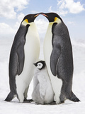 Emperor Penguin, Two Adults with Chick Photographic Print
