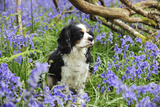 Cavalier King Charles Spaniel Sitting in Bluebells Photographic Print