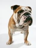Bulldog, Facing Photographic Print