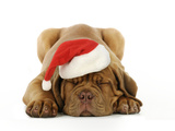 Dogue De Bordeaux Puppy Lying Down Wearing Christmas Hat Photographic Print
