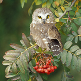 Saw-Whet Owl Perched in Rowan Tree Photographic Print