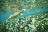 Green Sea Turtle Side Profile, at Surface Photographic Print