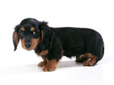 Miniature Long-Haired Dachshund Fotografisk tryk