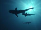 Grey Reef Sharks Fotografie-Druck