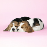 Beagle Dog Puppies Photographic Print