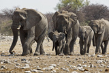 African Elephant Family Group on the Move Photographic Print