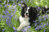 Border Collie Lying in Bluebells Photographic Print
