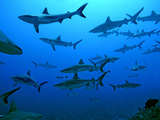 Grey Reef Sharks in the Tumotos, French Polynesia Photographic Print
