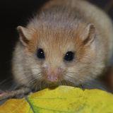 Hazel Dormouse Fattened Up for Winter Photographic Print