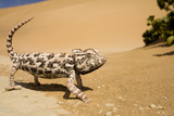 Namaqua Chameleon Side Profile During Threat Photographic Print