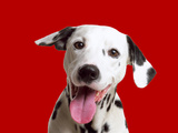 Dalmatian Dog Photographic Print
