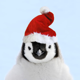 Emperor Penguin Chick Wearing Christmas Hat Photographic Print
