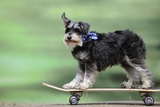 Schnauzer on Skateboard Photographic Print
