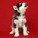 Alaskan Malamute Dog Puppy Fotografisk tryk
