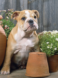 Bulldog Sitting with Flower Pots Photographic Print