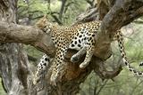 Leopard Resting in Tree Fotografisk tryk