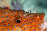 Cleaner Shrimp Cleaning Grouper Photographic Print