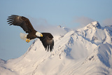 Bald Eagle in Flight Fotografiskt tryck