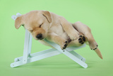 Yellow Labrdaor Puppy Lying in Deckchair Photographic Print