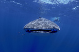 Whale Shark with Diver, Facing Camera Photographic Print